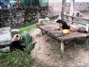 Panda 300x225 - Panda
